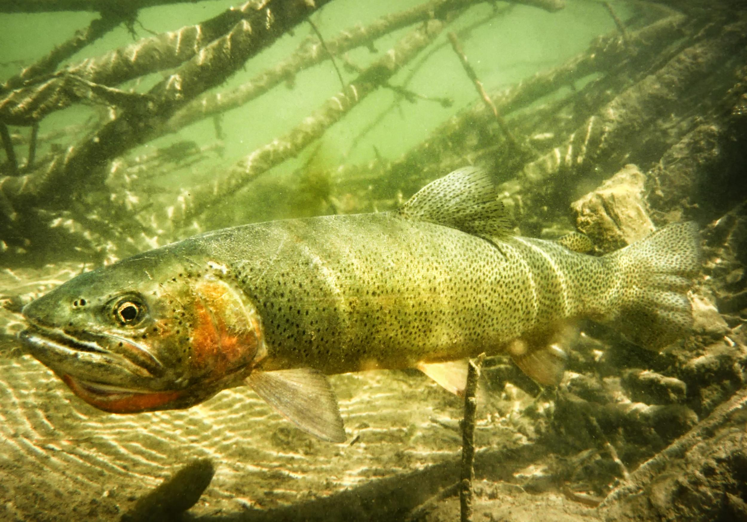 Cutthroat Trout Fly Fishing Guide Bighorn Dry Fly