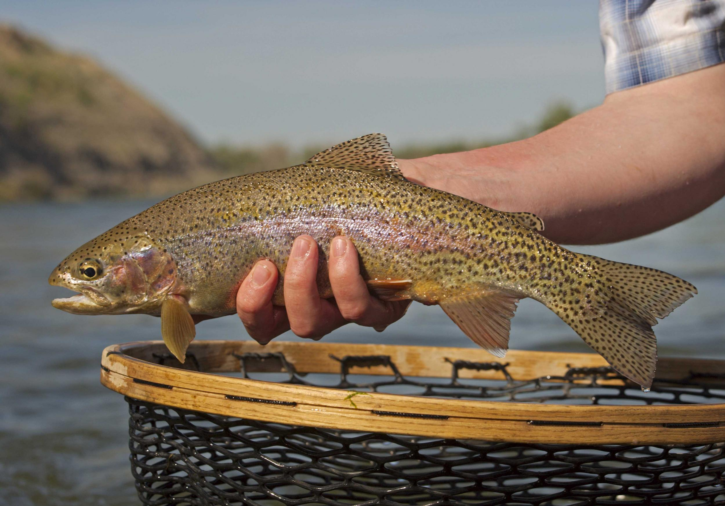 Rainbow Trout Montana Wyoming Fly Fishing Guide